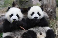 Pandas géants.jpg
